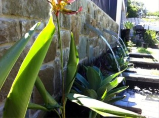 Heliconia water feature