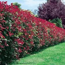 Photina hedge
