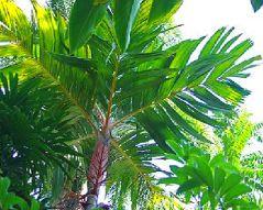 Orange collar Palm