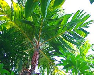 Orange collar Palm